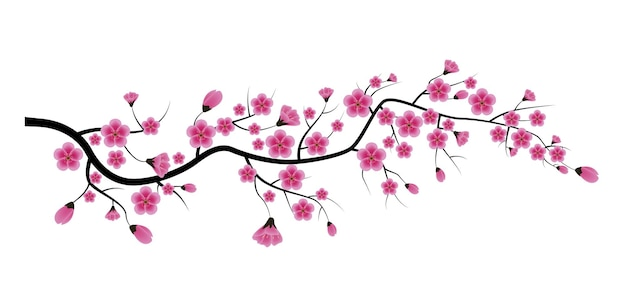 Sakura kwiat na białym tle