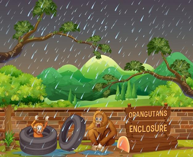 Scena z dwoma orangutany w zoo w deszczowy dzień