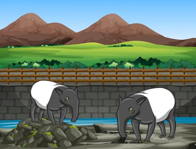 Scena z dwoma tapirami w zoo