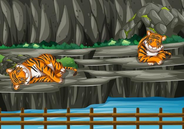 Scena z dwoma tygrysami w zoo