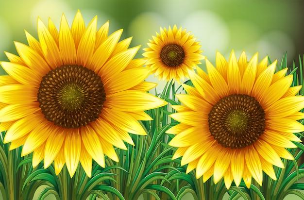 Scena z słonecznikami w ogródzie