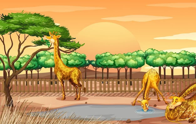 Scena z trzema żyrafami przy zoo