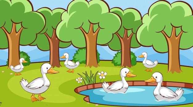 Scena z wieloma kaczkami w stawie