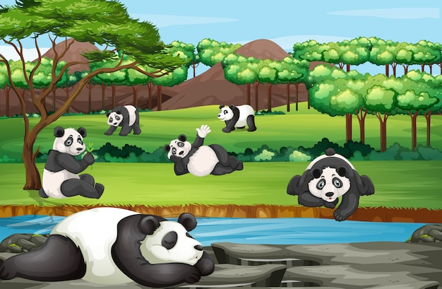 Scena z wieloma pandami w otwartym zoo
