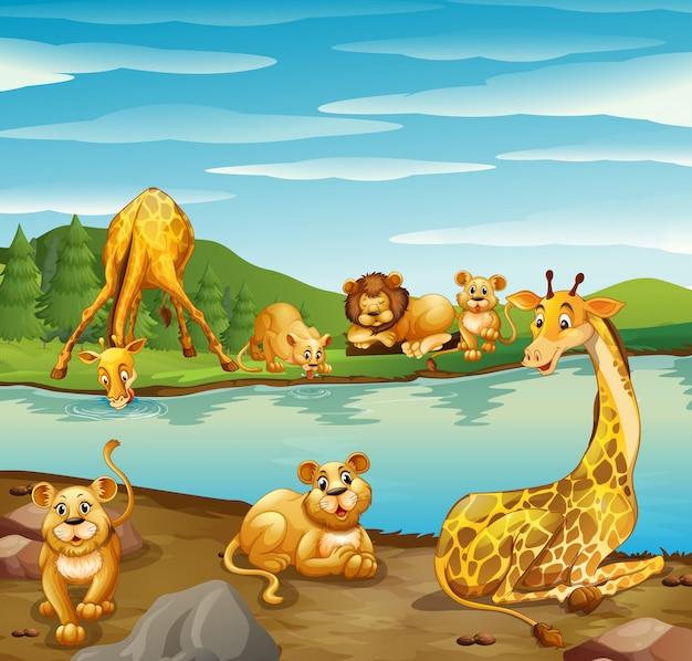 Scena z żyrafami i lwami nad rzeką