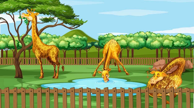 Scena z żyrafami w zoo