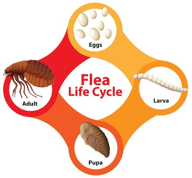 Schemat cyklu życia pcheł