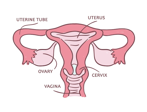 Schemat medyczny układu rozrodczego kobiet.
