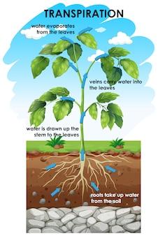 Schemat pokazujący transpirację rośliny