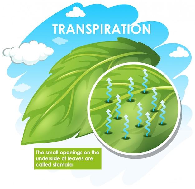 Schemat pokazujący transpirację z rośliną