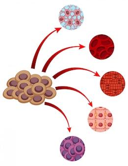Schemat przedstawiający bliższy wygląd różnych komórek