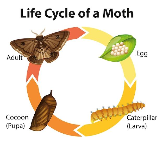 Schemat przedstawiający cykl życia ćmy
