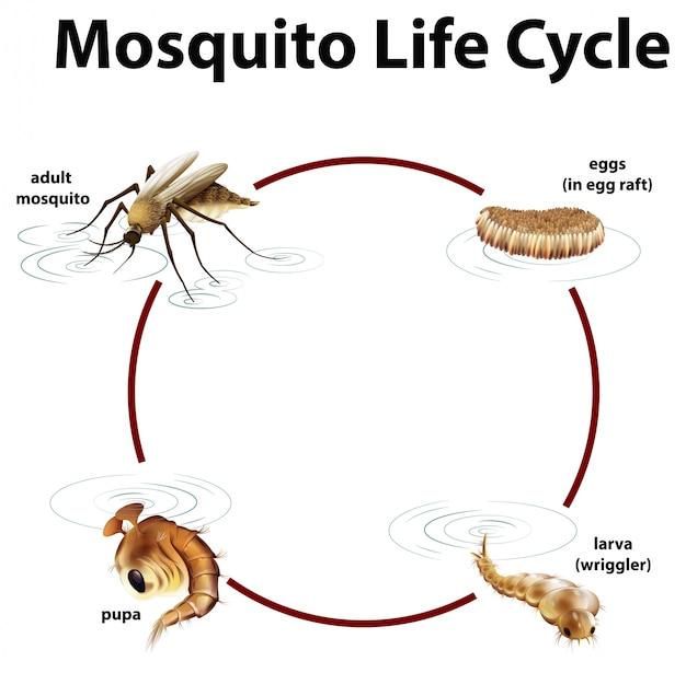 Schemat przedstawiający cykl życia komara