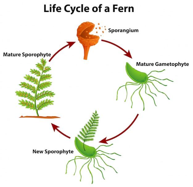 Schemat przedstawiający cykl życia paproci