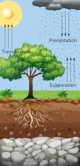 Schemat przedstawiający drzewo i transpirację