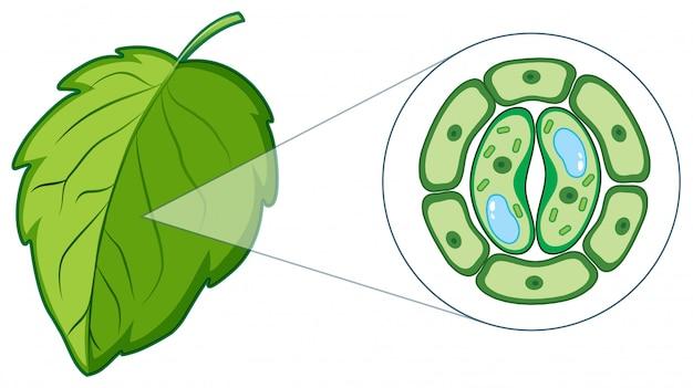 Schemat przedstawiający komórkę roślinną z liścia