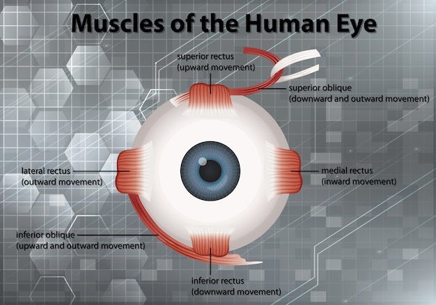Schemat przedstawiający mięśnie ludzkiego oka na szarym tle