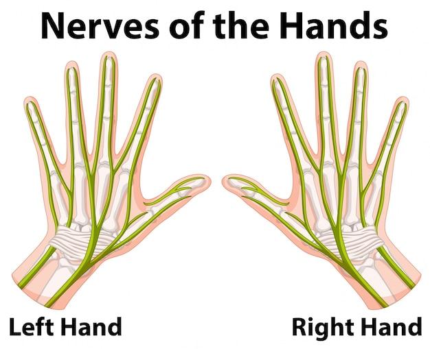 Schemat przedstawiający nerwy rąk
