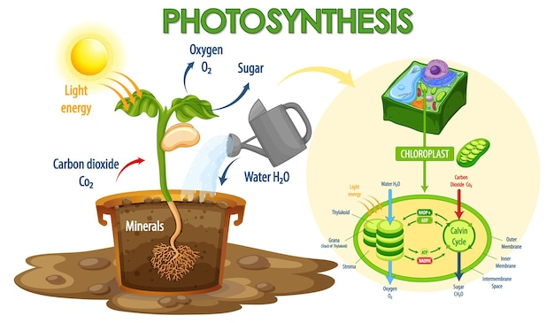 Schemat przedstawiający proces fotosyntezy w roślinie