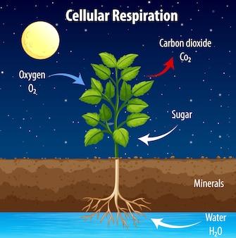 Schemat przedstawiający proces oddychania komórkowego