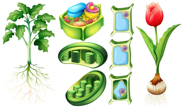 Schemat przedstawiający roślinę i komórkę roślinną