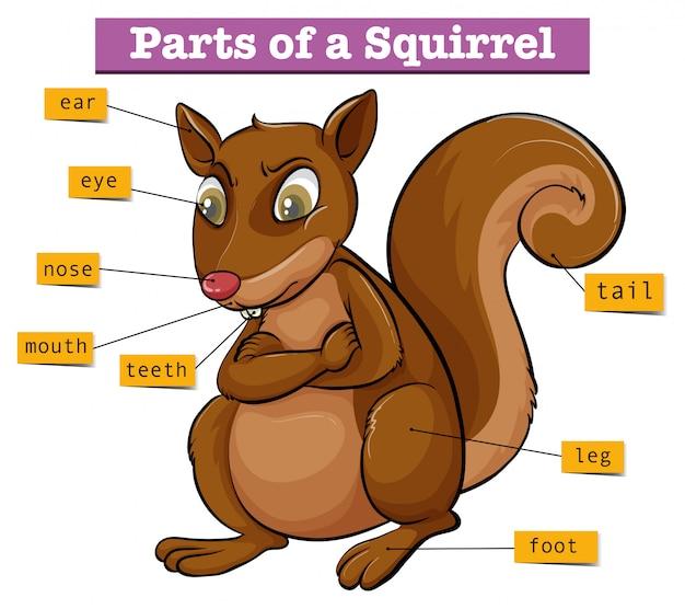 Schemat przedstawiający różne części wiewiórki