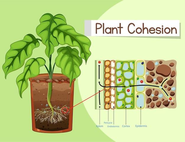 Schemat przedstawiający spójność roślin