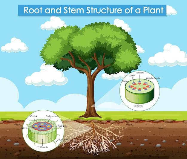 Schemat przedstawiający strukturę korzenia i łodygi rośliny