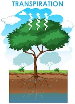 Schemat przedstawiający transpirację drzewa