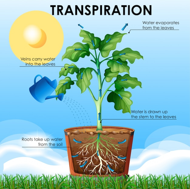 Schemat przedstawiający transpirację z rośliną i wodą
