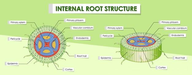 Schemat przedstawiający wewnętrzną strukturę korzenia