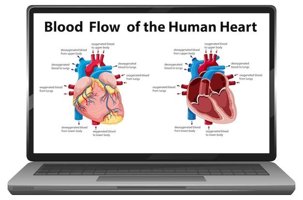 Schemat przepływu krwi ludzkiego serca na ekranie laptopa na białym tle
