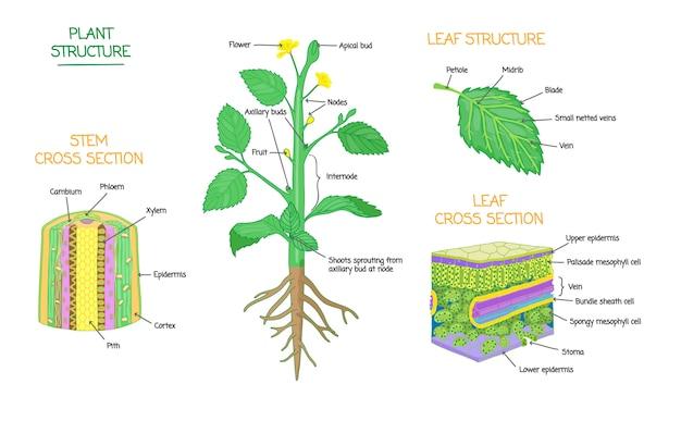 Schematy przekrojów struktury roślin