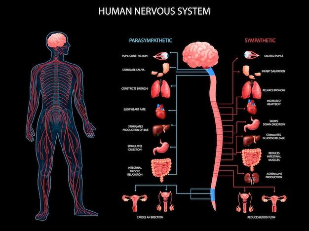Schematy układu współczulnego układu nerwowego ludzkiego ciała z realistyczną terminologią anatomiczną opisującą narządy