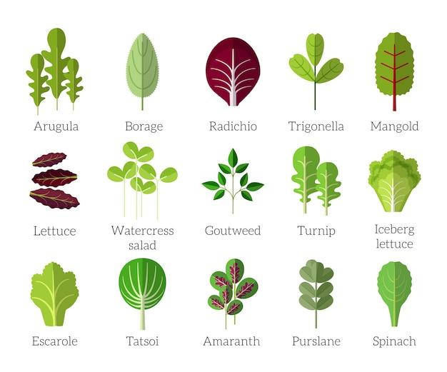 Składniki sałatki. zestaw ikon płaski warzyw liściastych. ekologiczne i wegetariańskie, ogórecznik i radichio, trygonella i baranina