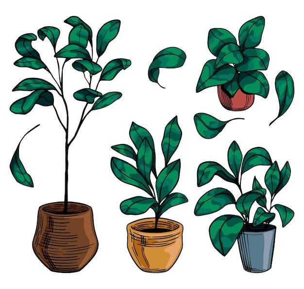 Skrzypce drzew figowych liści. rośliny domowe kolorowe rysunki na białym tle. szkice botaniczne w stylu vintage. ręcznie rysowane wektor zbiory ilustracji. elementy do projektowania, wystroju.