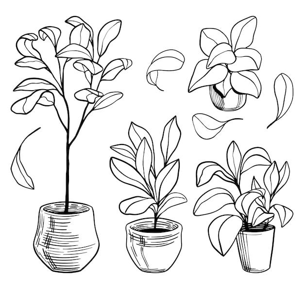 Skrzypce drzew figowych liści. rośliny domowe zarys rysunków na białym tle. szkice botaniczne w stylu vintage. ręcznie rysowane wektor zbiory ilustracji. elementy do projektowania, wystroju.