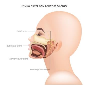 Ślinianki przyuszne i nerw trójdzielny twarzowy realistyczna ilustracja medyczna