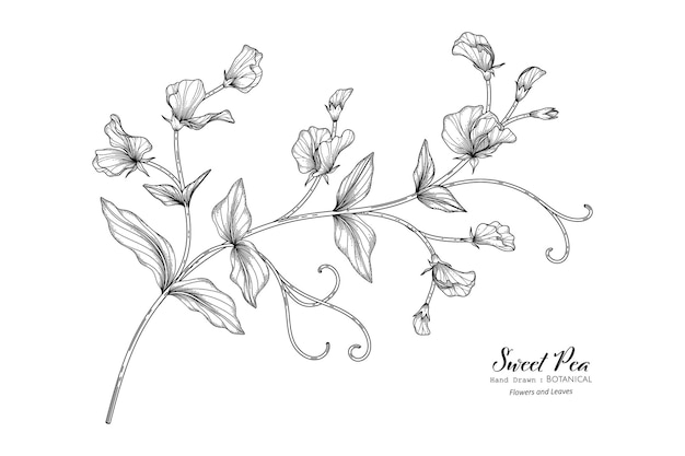 Słodki groszek kwiat i liść ręcznie rysowane ilustracja botaniczna z grafiką.