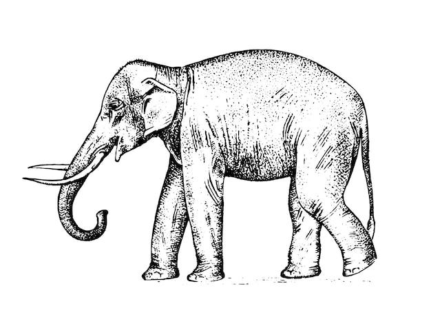 Słoń indyjski dzikie zwierzę w ciepłym kraju. grawerowane ręcznie rysowane realistyczne w starym szkicu, styl vintage.