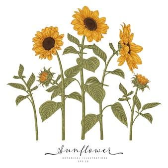 Słonecznik bardzo szczegółowe ręcznie rysowane ilustracje botaniczne.