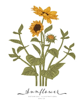 Słonecznik bardzo szczegółowe rysunki