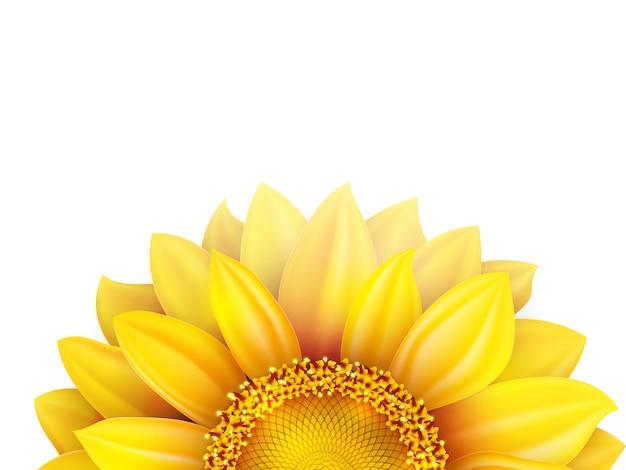 Słonecznik na białym tle.