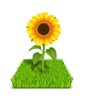 Słonecznik w zielonej trawie