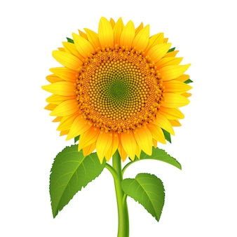 Słonecznik z szypułką