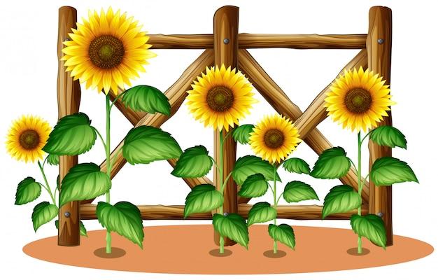 Słoneczniki i drewniany płot