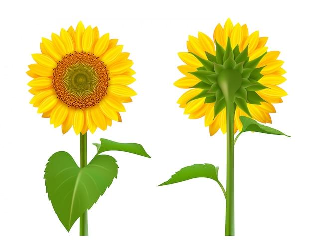 Słoneczniki realistyczne. letnia botaniczna kolekcja kwiatów słoneczników, zdjęć żółtych bukietów nasion