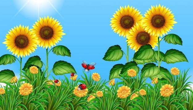 Słonecznikowe pole z biedronki latające