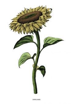 Słonecznikowej ręki rysunkowy rocznik odizolowywający na białym tle