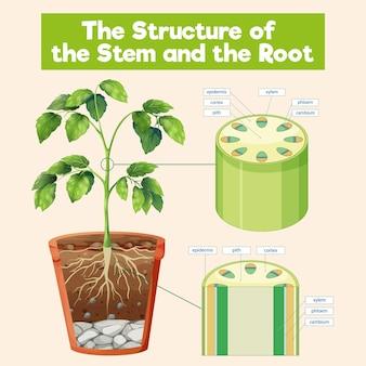 Struktura pnia i korzenia